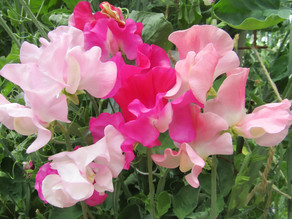 History of Gawler Sweet Peas