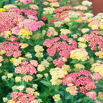 Achillea millefolium Summer Pastels (Yarrow)