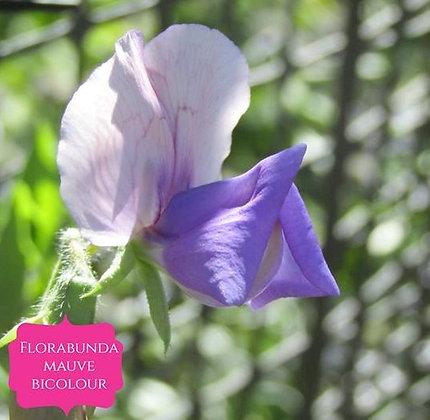 Floribunda Bicolour - Mauve