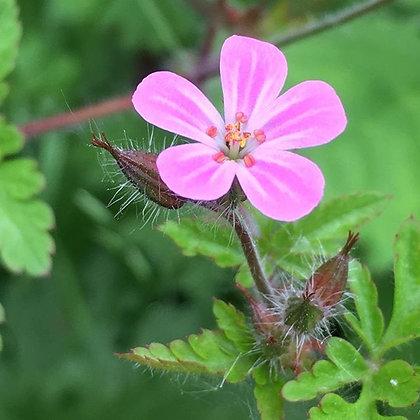 Geranium Robertianum - Herb Robert