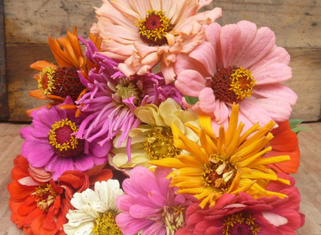 Adding Zing to Your Garden with Zinnias