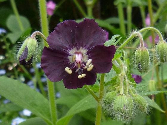 Geranium Mourning Widow - Geranium phaeum
