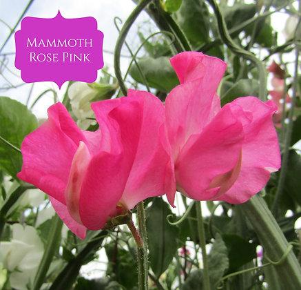Mammoth Rose Pink