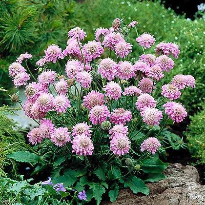 Scabiosa japonica var. alpina 'Pink Diamonds'