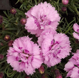 Dianthus Pike's Pink