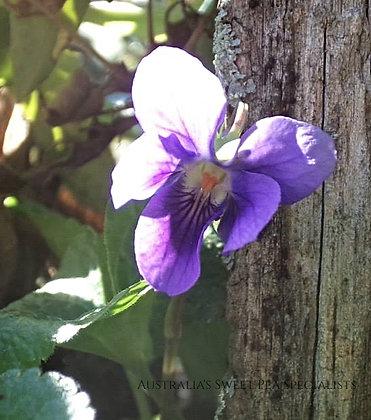 Princess of Wales Violet (Princess de Galles) - Plant