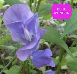 BLUE WONDER MINE (2)