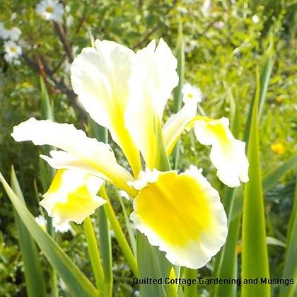 Spuria Iris Yellow & White