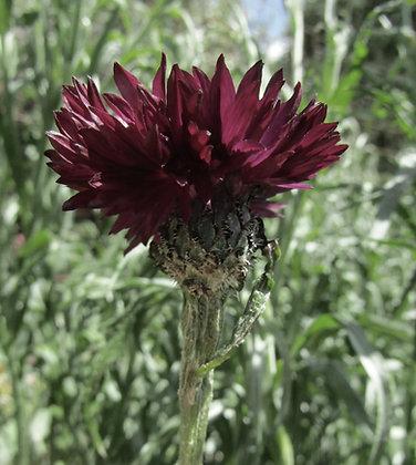 Cornflower - Black Ball - Centaurea cyanus