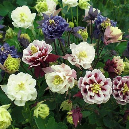 Aquilegia vulgaris Double Flower Mix