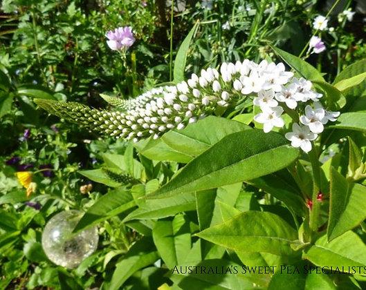 Gooseneck loosestrife Plant - Lysimachia clethroides
