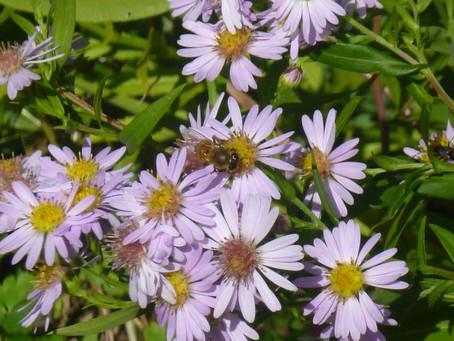 Asters (Perennial)