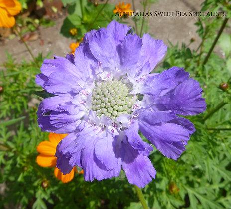 Scabiosa caucasica Blue - Caucasian Pincushion Flower