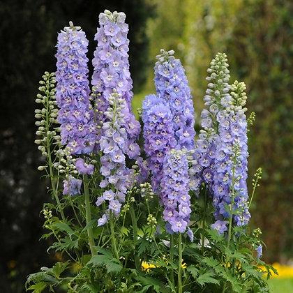 Delphinium 'Guardian Lavender'