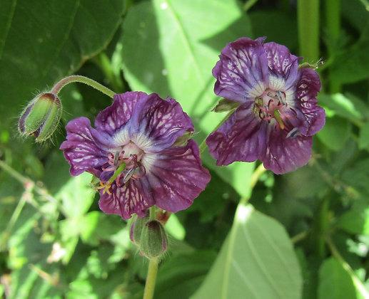 Geranium phaeum 'Samobor' - Dusky Cranesbill