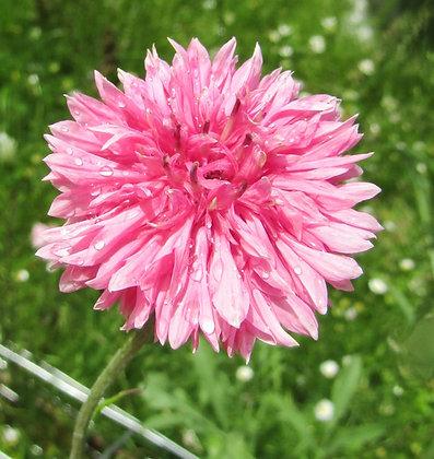 Cornflower - Soft Pink - Centaurea cyanus