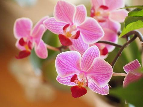L' élixir d'orchidée