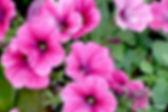 petunia-n28.jpg