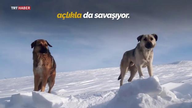 TRT Haber - THK sokak hayvanları için havadan yiyecek attı