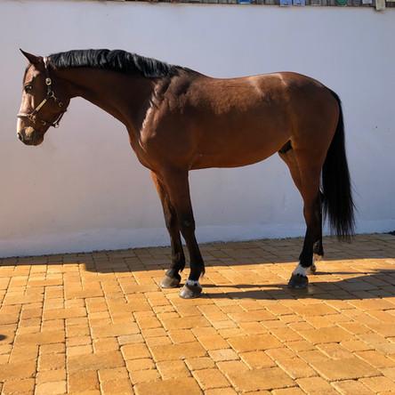 Karac des Brits, cheval de l'élevage fam