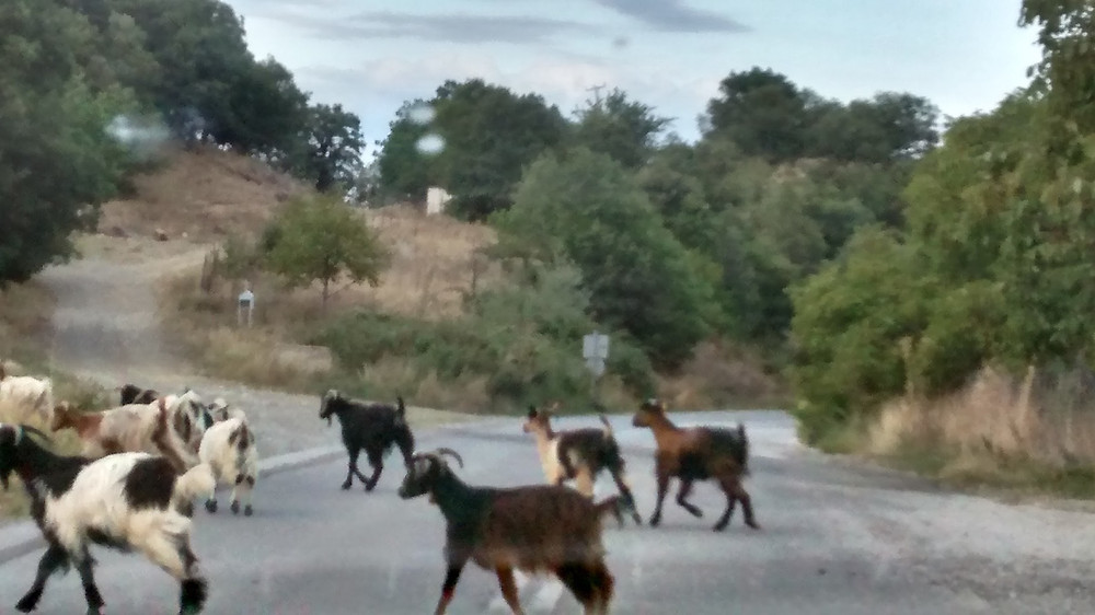 Goats crossing the road