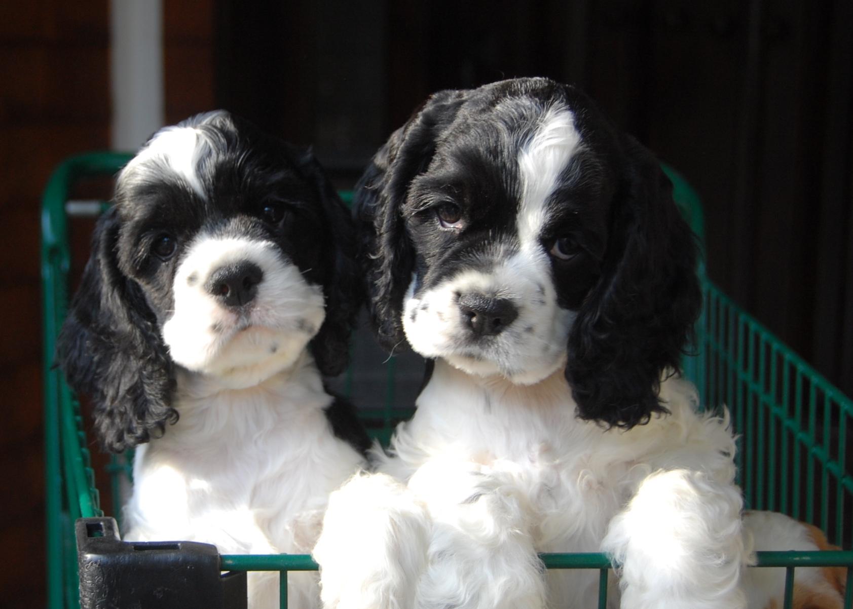 Ch. Jimbo & Ch. Jypsy as Puppies