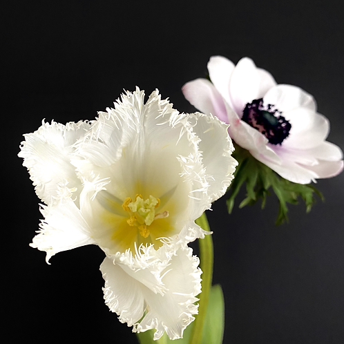 """White Crispa-Tulip meets Pink Windflower"""