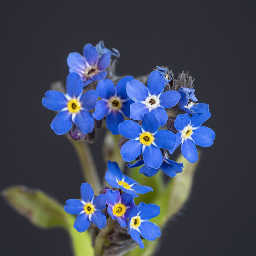 """""""Forget-Me-Not on Anthracite"""""""