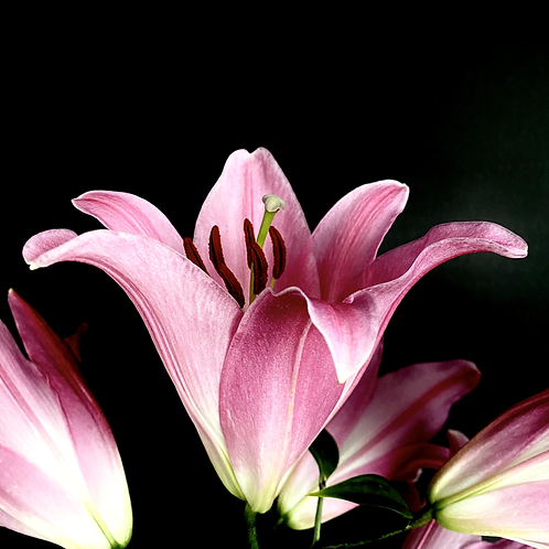 """""""Pink Lily on Black"""""""