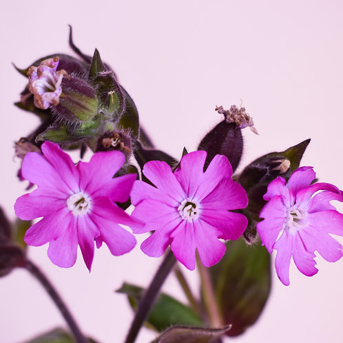 """""""Red Campion on Pink"""""""