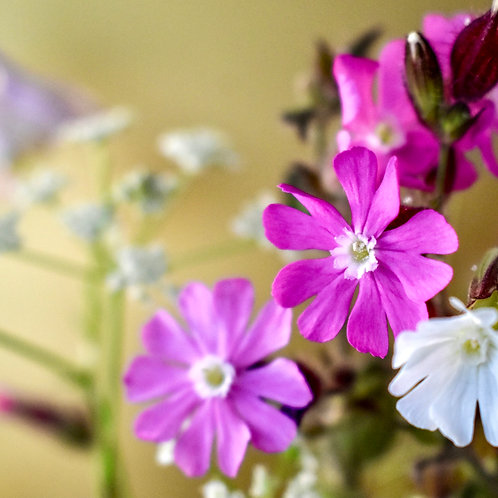 """""""Red & White Campion on Gold"""""""