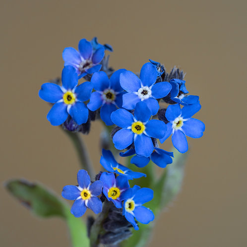 """""""Forget-Me-Not on Umbra"""""""