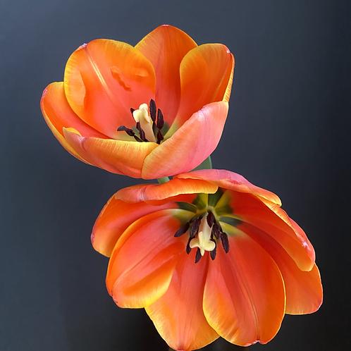 """Tulip in a Couple II"""