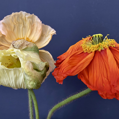 """""""Wild Poppies in the Blue"""""""