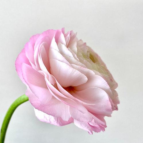 """""""Pink Buttercub - Simple & Beautiful"""""""