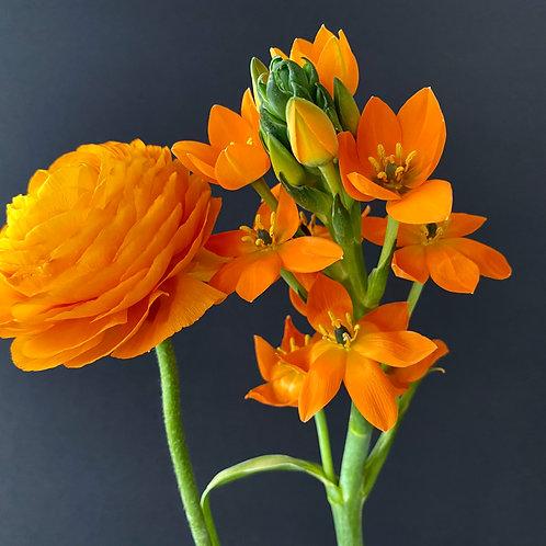 """Buttercup meets Star of Bethlehem in Orange"""