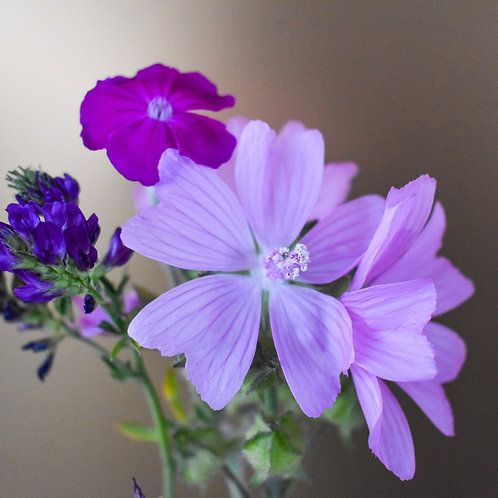 """""""Musk Mallow Composition"""""""