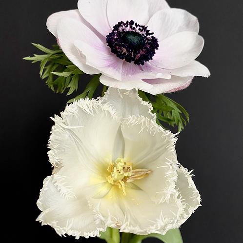 """White Crispa-Tulip meets Pink Windflower"" Upright"