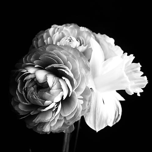 """Buttercub meets Daffodil in Black & White"""