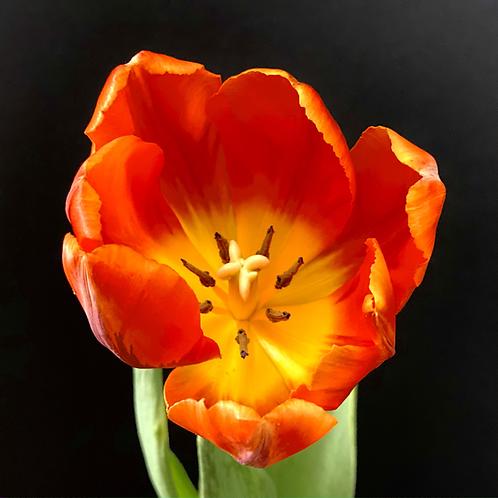 """""""Single Power Tulip"""""""