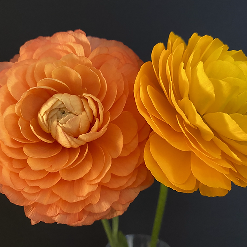"""Buttercup in Orange"""