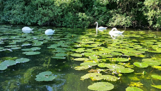 Swans on the River Nene in Peterborough