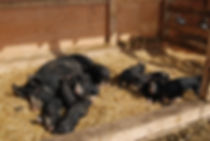 Berkshire sow with piglets