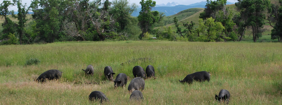 Pastured Berkshire Pigs