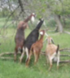 Nubian Milk Goats