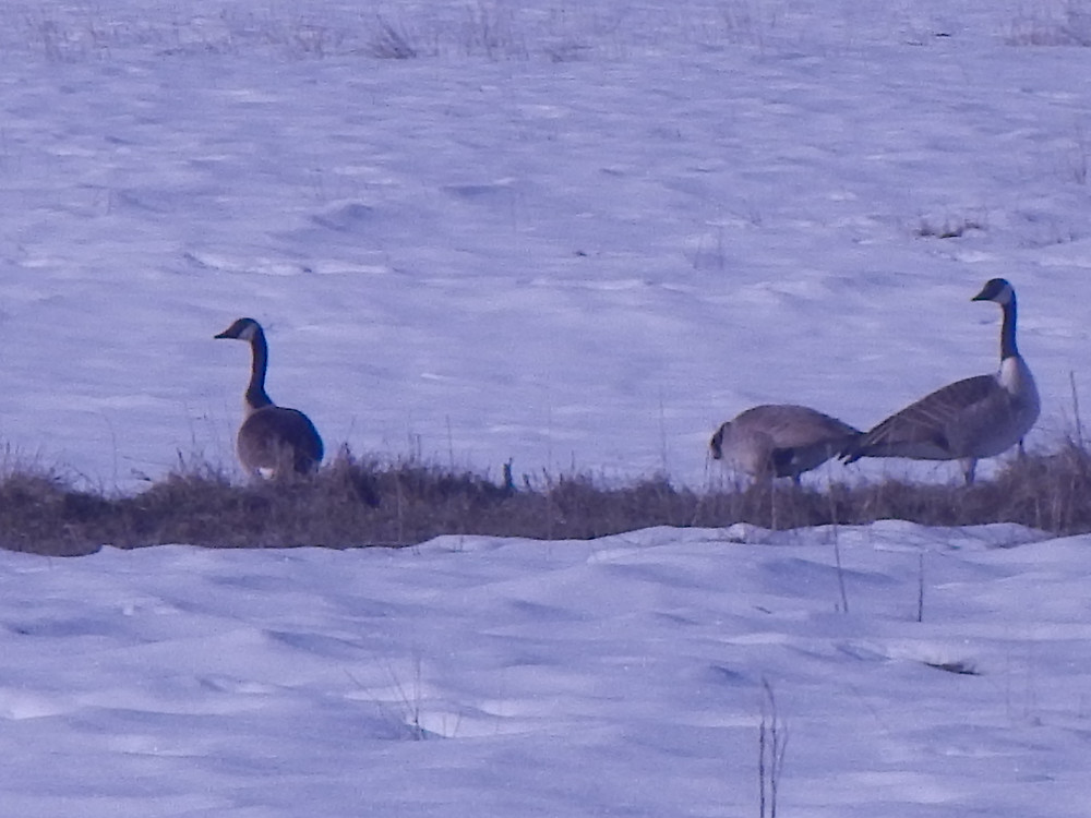 Canada geese in our pastures