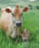 Jersey dairy cow and calf in pasture