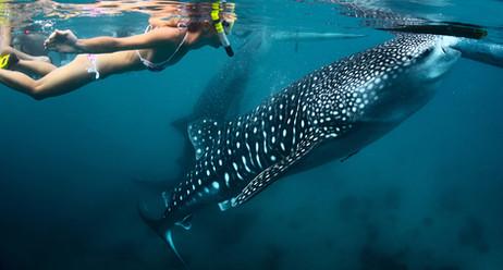 Snokelling-Whale-Shark-Belize.jpg