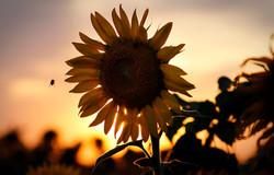 Summer sunflowers' peak