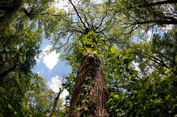 Overton Park Old Forest, Memphis